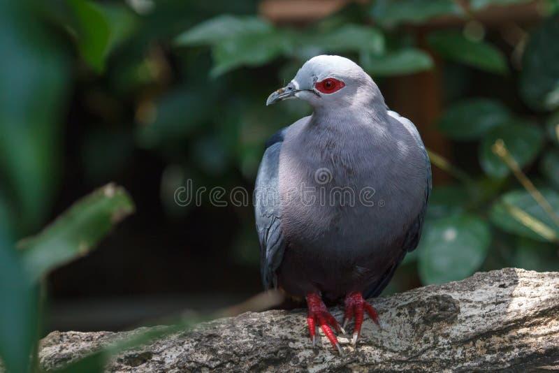 красный цвет eyed dove стоковые изображения