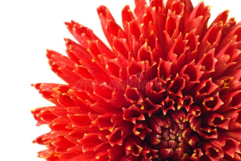 красный цвет georgina цветка бутона стоковая фотография rf