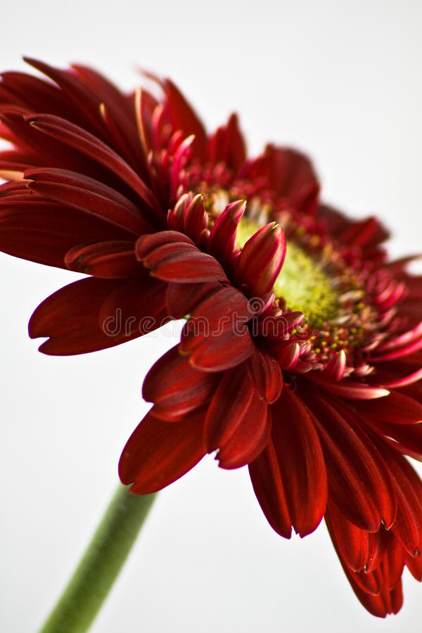 красный цвет gerbera стоковые фото