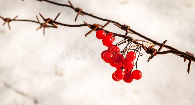 красный цвет guelder поднял стоковое изображение rf