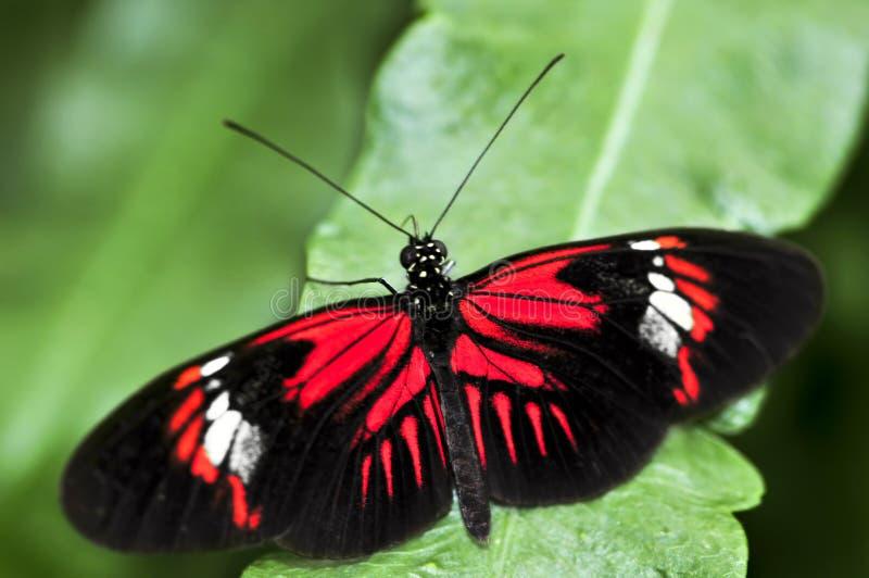 красный цвет heliconius dora бабочки стоковое изображение