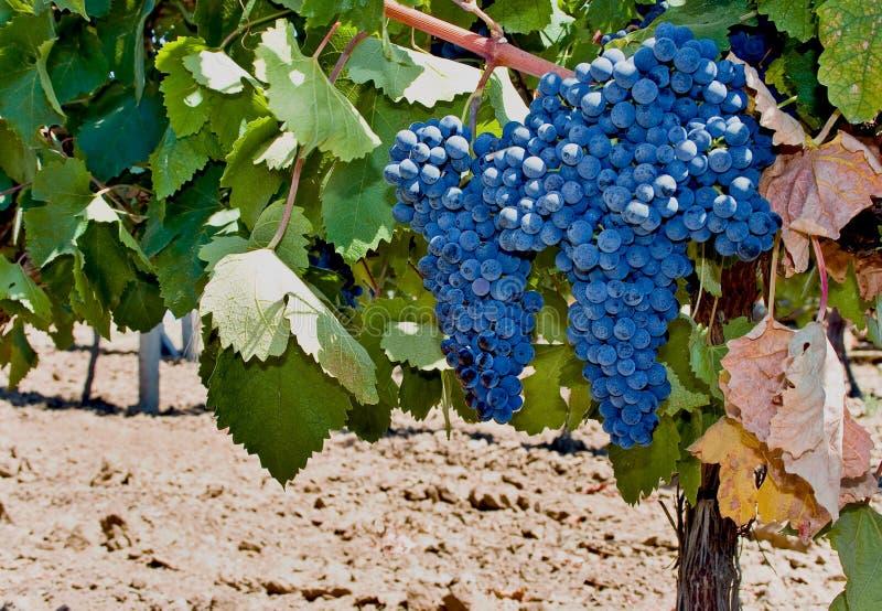 красный цвет mavrud виноградины стоковые фотографии rf