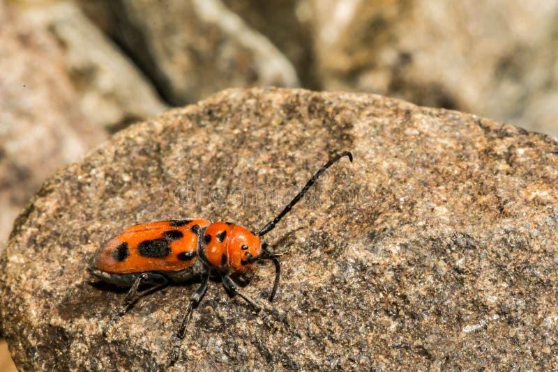 красный цвет milkweed жука стоковые фото