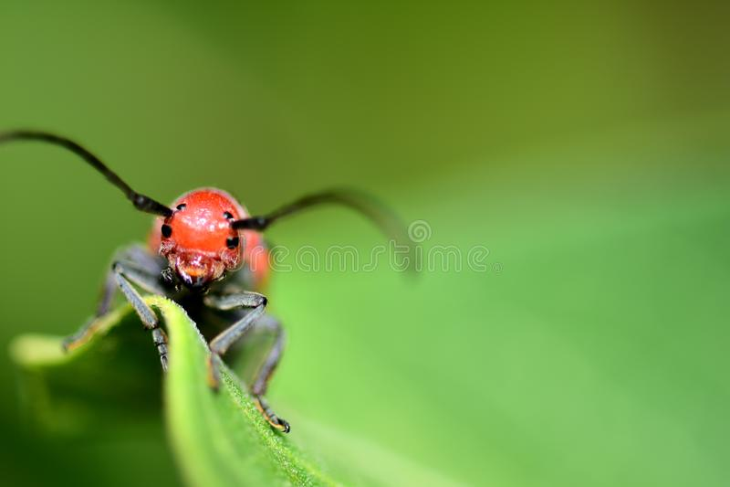 красный цвет milkweed жука стоковое изображение