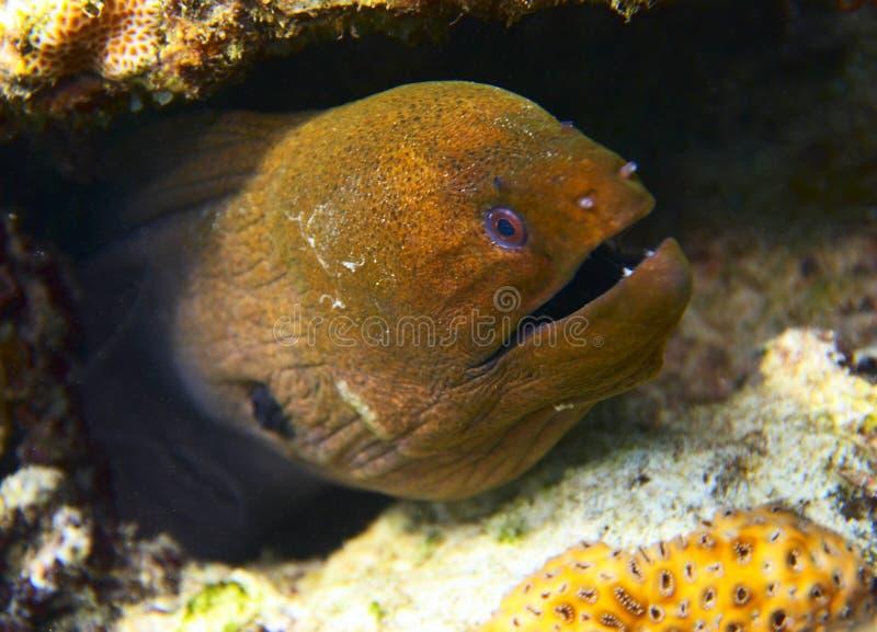 красный цвет moray 3 eel стоковая фотография