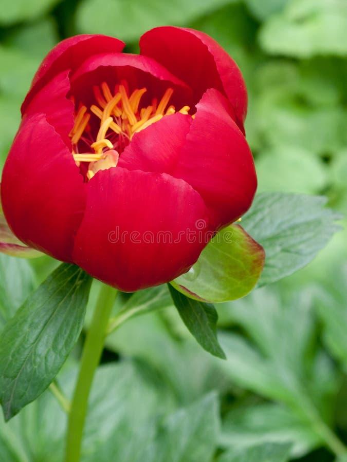 красный цвет peony цветка стоковое изображение rf