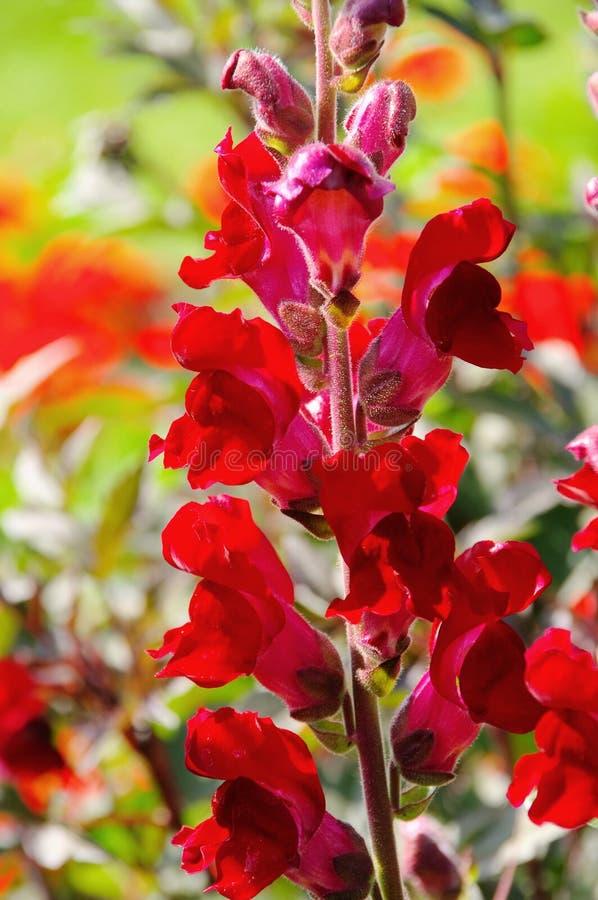 Красный цвет Snapdragon стоковое изображение rf
