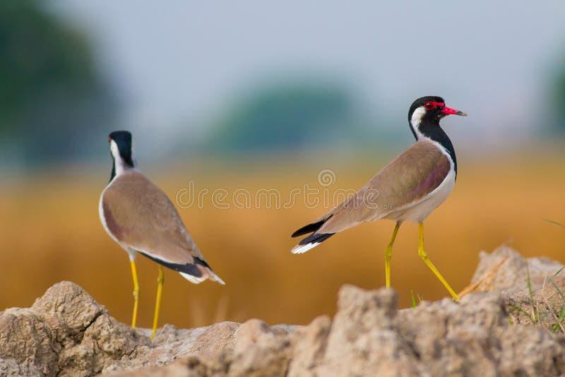 Красный цвет wattled пары lapwings вытаращить на камере стоковые изображения rf