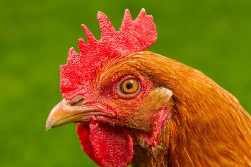 Красный цыпленок в конце-Вверх профиля стоковое изображение rf