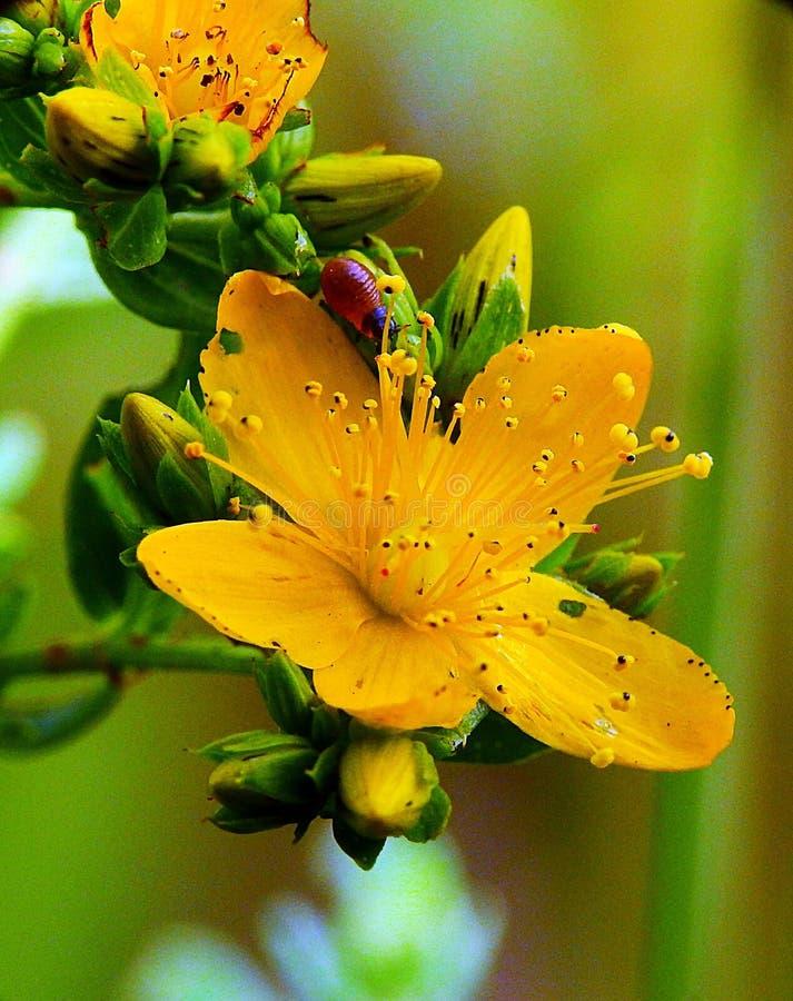 Красный червь на желтом цветке стоковые изображения rf