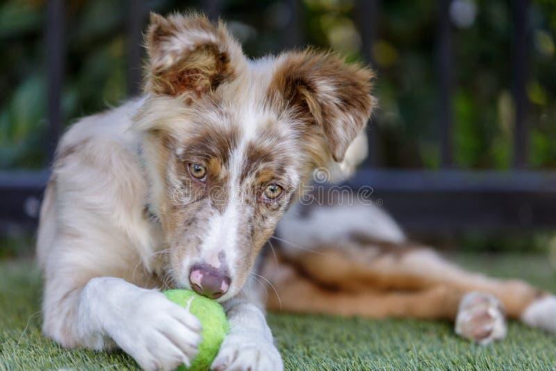 Красный щенок чабана Merle австралийский играя с теннисным мячом стоковые изображения rf