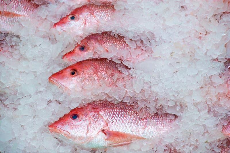Красный люциан в льде стоковое изображение