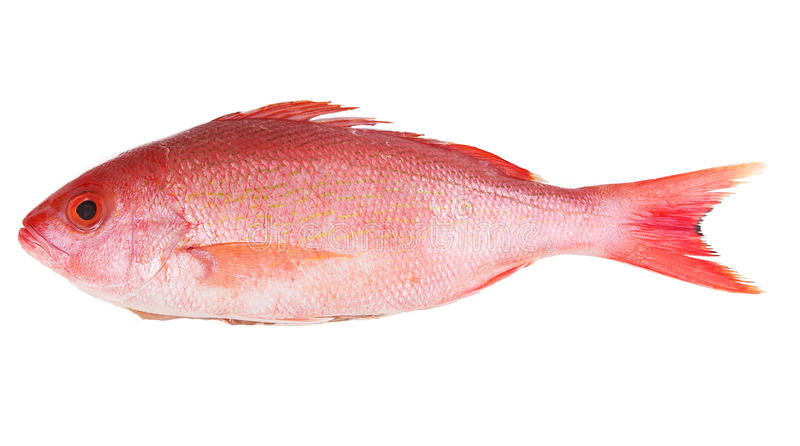 Красный люциан стоковая фотография