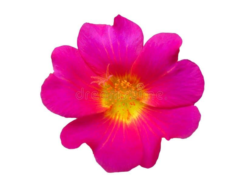 Красный яркий цветок изолированный на белый день предпосылки весной тропического сада стоковые изображения
