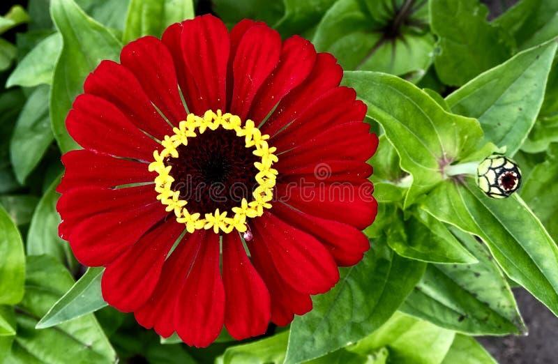 Красный яркий цветок gerbera на зеленой предпосылке листвы Конец-вверх стоковое фото rf