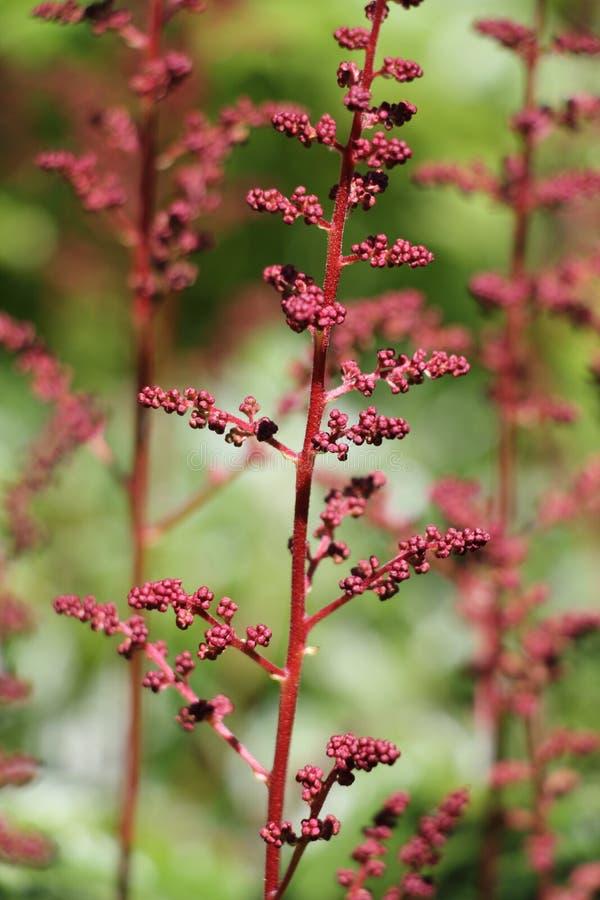Красный astilbe стоковое изображение