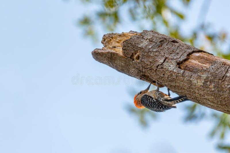 Красный Bellied Woodpecker стоковые фото