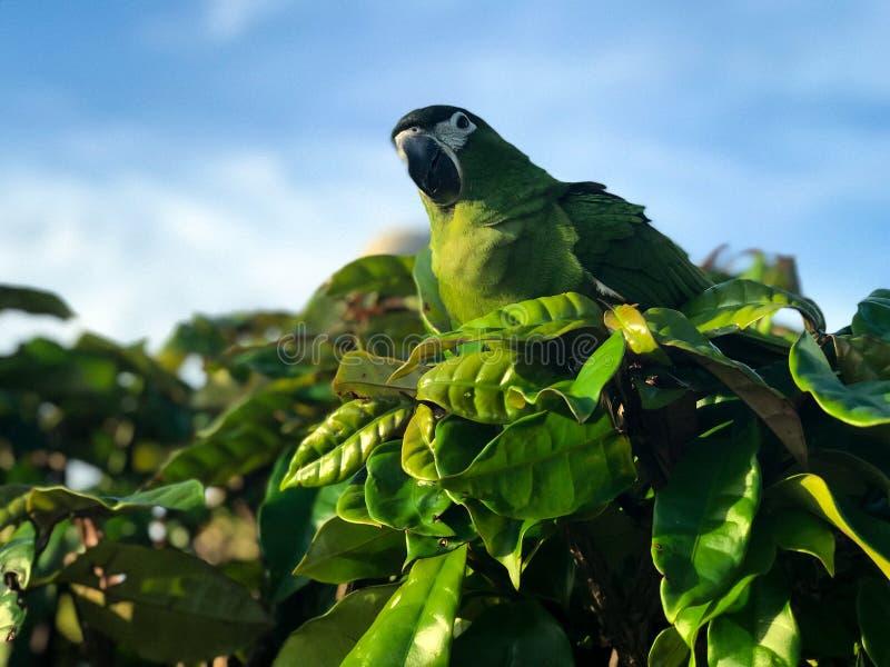 Красный breasted длиннохвостый попугай в среду обитания природы вставляя на ветви дерева с небом на заднем плане стоковые изображения rf