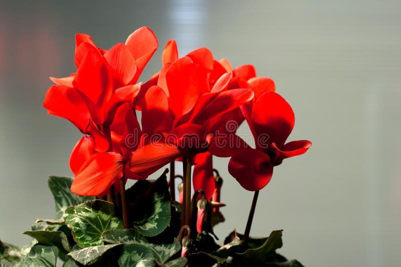 Красный cyclamen стоковое фото