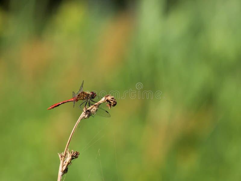 Красный dragonfly в покое стоковые фото