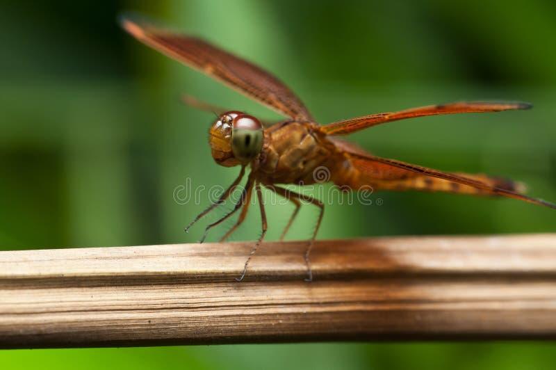 Красный dragonfly стоковое фото rf