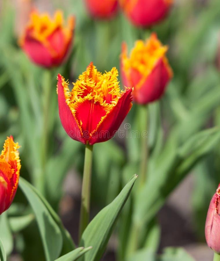 Красный flowerbed тюльпанов стоковая фотография rf