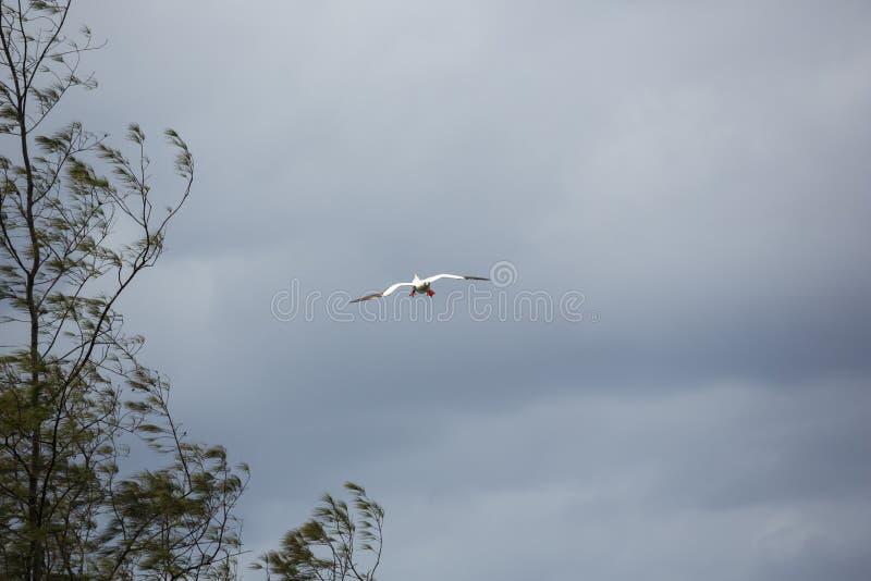 Красный footed олух подготавливая приземлиться стоковое фото