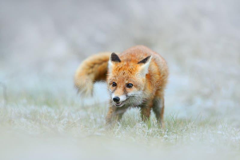Красный Fox в зиме снега, охотясь animil в снежной траве, Франция стоковое изображение