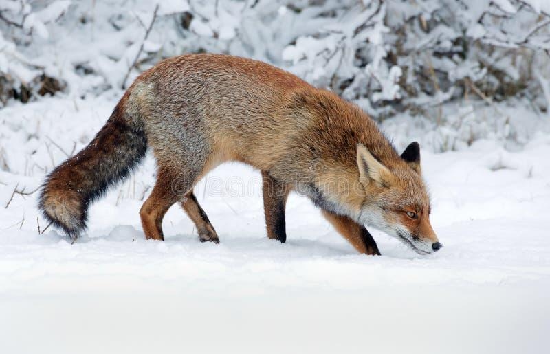 Красный Fox в снежке стоковое фото rf
