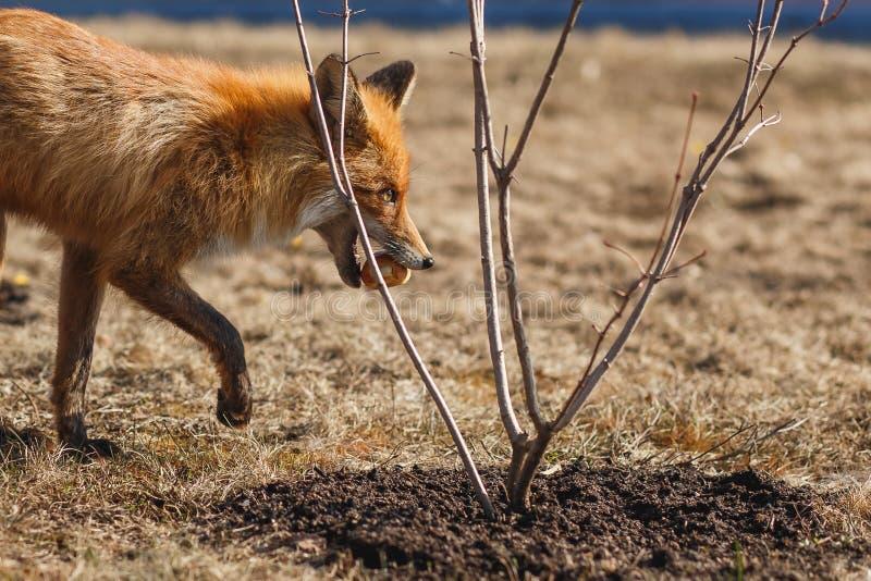Красный Fox есть плюшку в траве стоковое фото rf