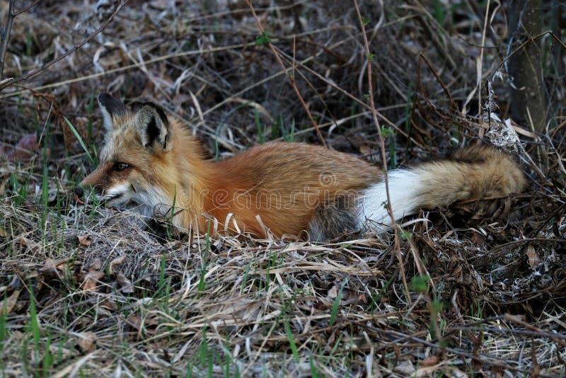 Красный Fox лежа в траве стоковые изображения rf
