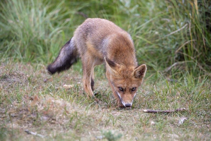 Красный Fox стоковая фотография rf