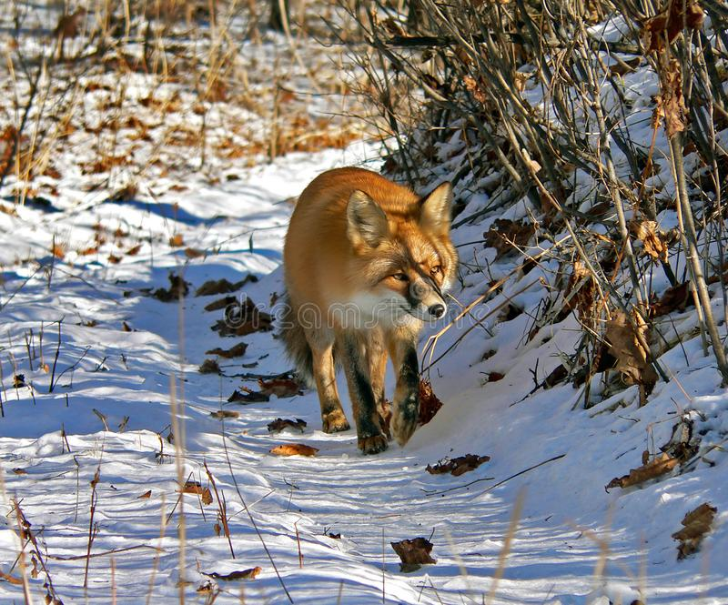 Красный Fox 4 стоковая фотография rf