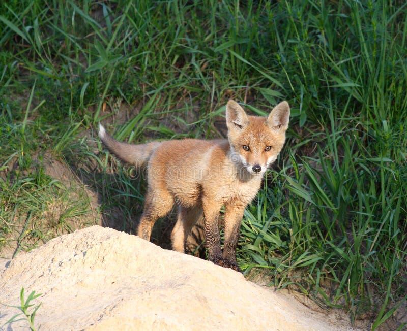 Красный Fox (vulpes Vulpes) стоковое фото rf