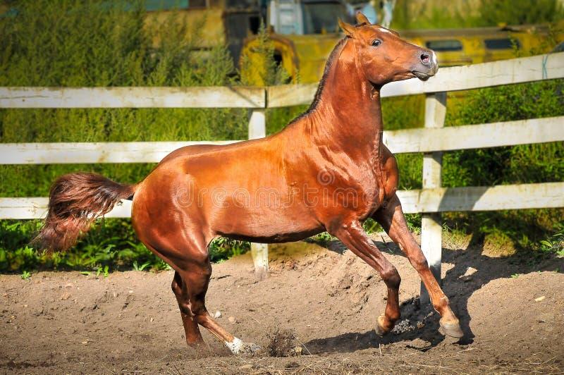 Красный gallop бегов лошади на paddok стоковые изображения