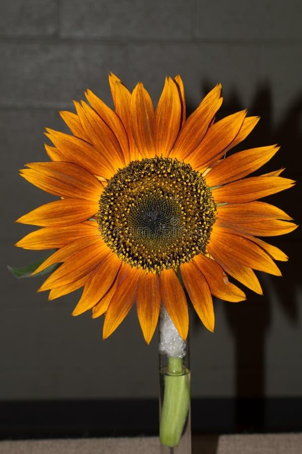Красный Heirloom солнцецвета стоковые фото