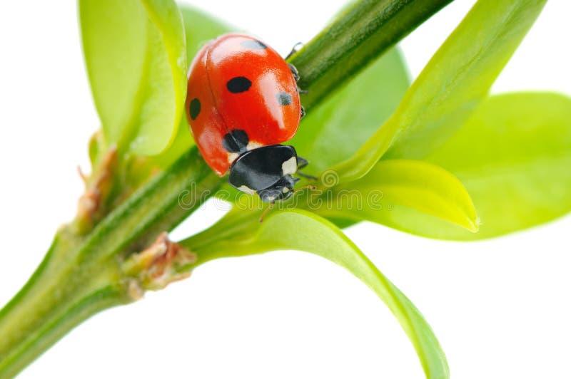 Красный ladybug на зеленых лист в траве изолированной на белом bac стоковое изображение rf