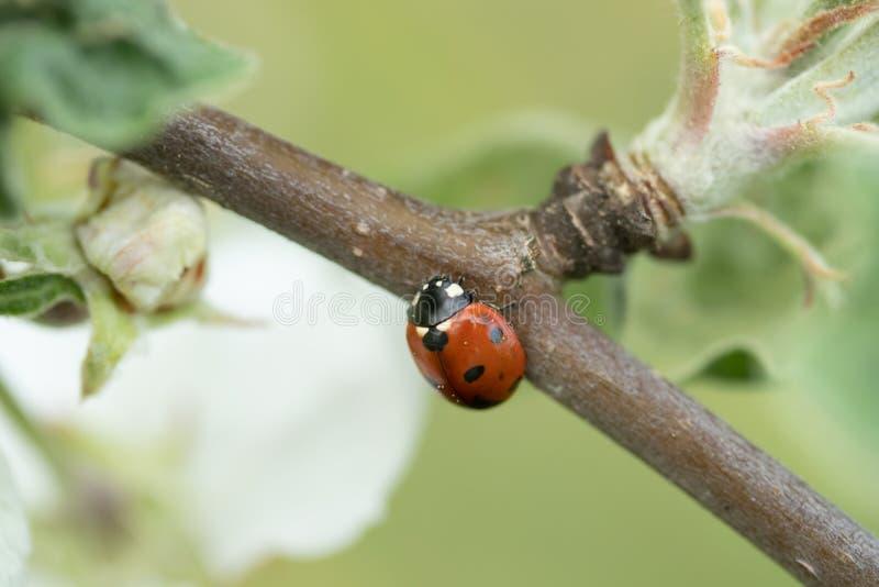 Красный ladybug на конце-вверх макроса ветви яблони стоковые изображения