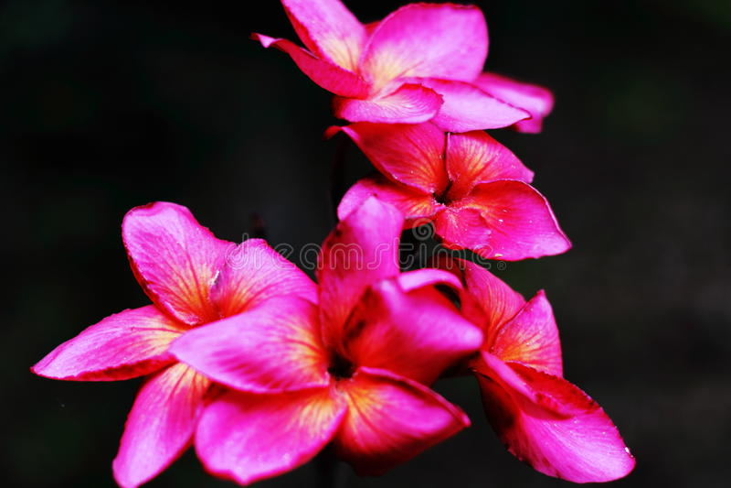 Красный plumeria стоковая фотография rf
