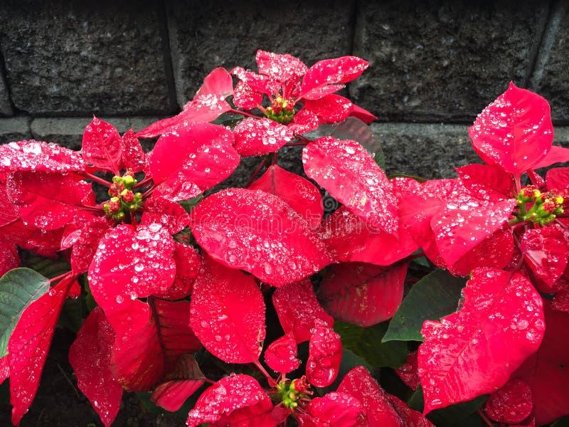 Красный poinsettia цветка рождества с капельками воды стоковая фотография