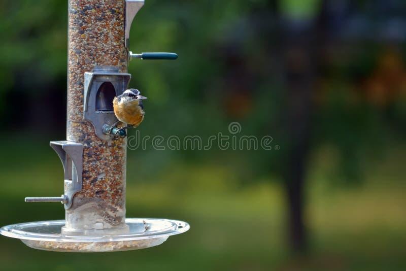 Красный Songbird Nuthatch Breasted стоковое изображение rf