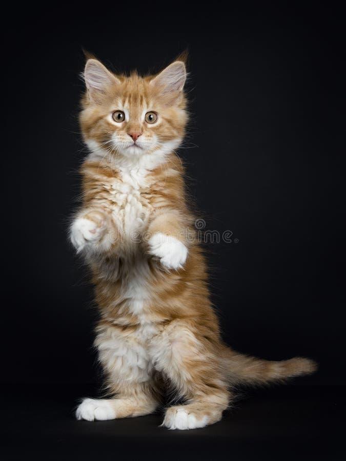 Красный tabby с белыми котом енота Мейна/котенком стоковые изображения rf