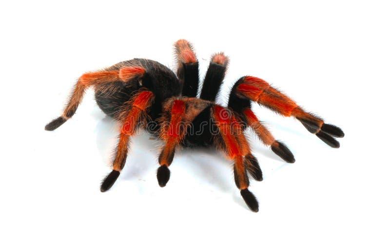 красный tarantula стоковое изображение