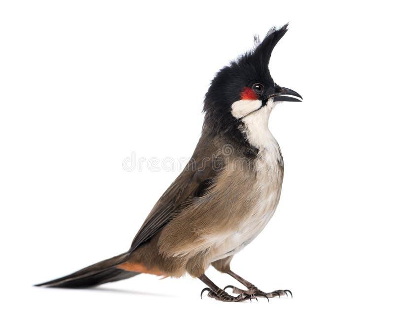 Красный-whiskered Bulbul - jocosus Pycnonotus стоковое фото