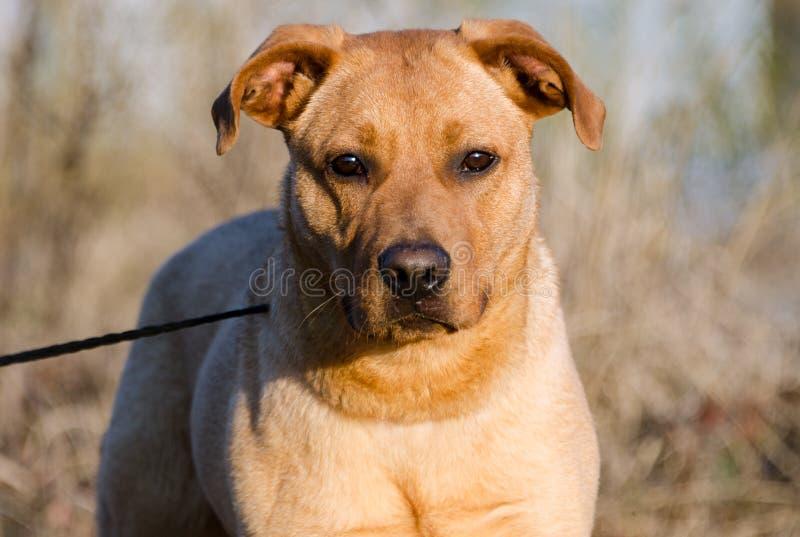 Красным смешанная Retriever собака породы стоковое фото rf