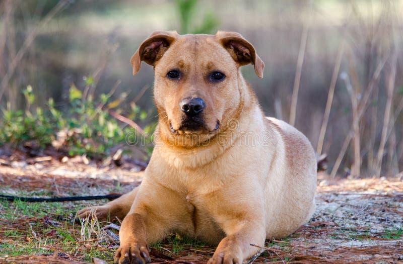 Красным смешанная Retriever собака породы стоковая фотография rf