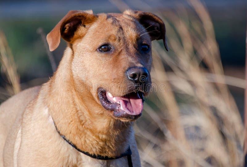 Красным смешанная Retriever собака породы стоковое изображение