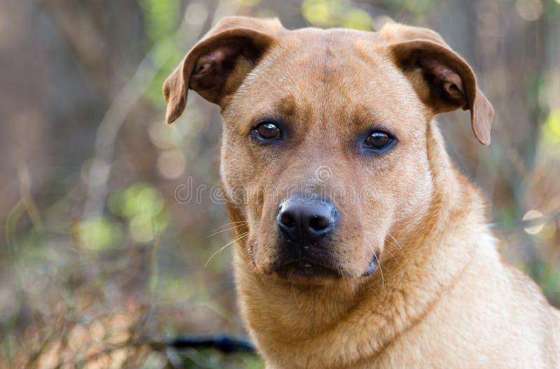 Красным смешанная Retriever собака породы стоковая фотография