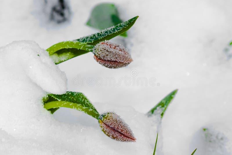 2 красных тюльпана под снегом стоковое изображение