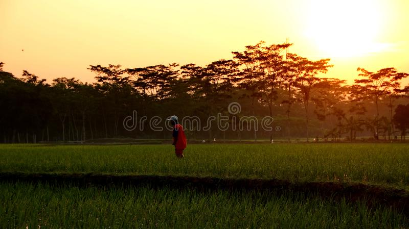 Красота восхода солнца в полях риса стоковое изображение rf